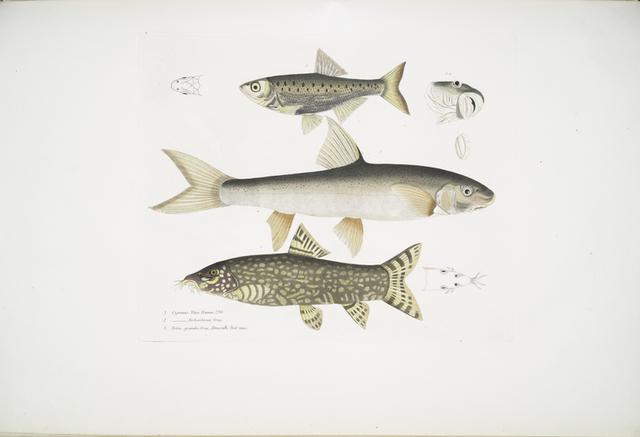 1. Tileo Carp, Cyprinus Tileo; 2. Richardson's Carp, Cyprinus Richardsonii; 3. Beautiful Loach, Botia grandis.