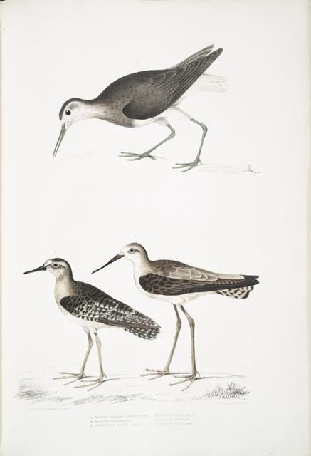 1. White Tailed Sandpiper, Totanus leucurus; 2. Allied Sandpiper, Totanus affinis; 3. Cawnpore Snipe, Totanus Lathami.