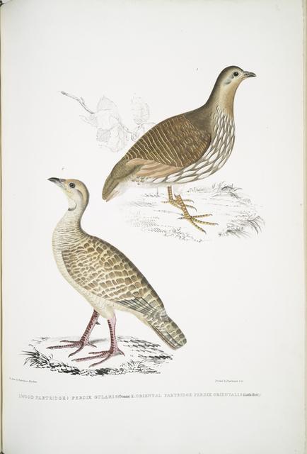1. Wood Partridge, Perdix gularis; 2. Oriental Partridge, Perdix orientalis.