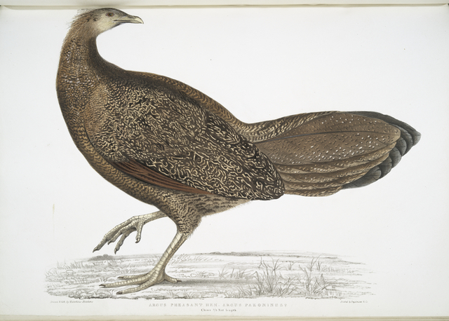 Argus Pheasant, Argus Paeoninus [Pavoninus]. China, 2/3 Natural size.