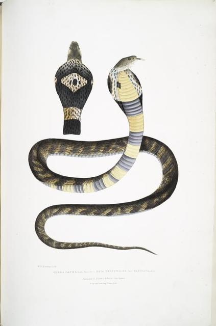 [Banded] Cobra Capella, variety, Naia tripudians, var. fasciata.