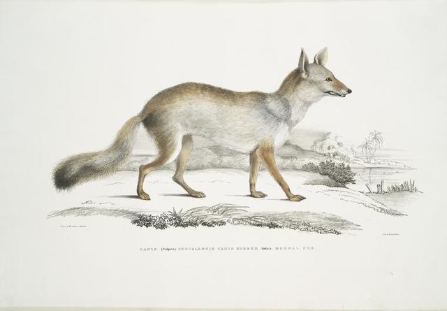 Bengal Fox, Canis (Vulpes) Bengalensis, Canis Kokree.