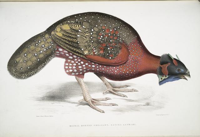 Bengal Horned Pheasant, Satyra Lathami.