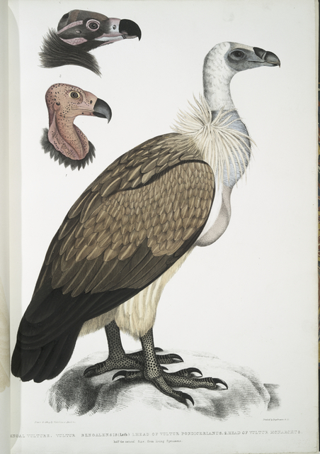 Bengal Vulture, Vultur Bengalensis. 1 Head of  Vultur Pondicherianus; 2. Head of Vultur monarchus [monachus].