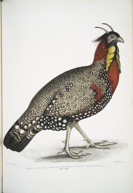 Black head Horned Pheasant, Satyra melanocephala. Adult male.