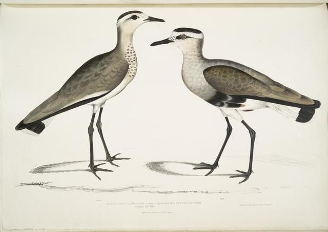 Black Sided Sandpiper, Charadrius ventralis [Wagleri]. Male & Female. Cawnpore, January 1798.
