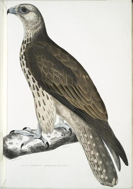 Cherrug  Falcon, Falco cherrug.