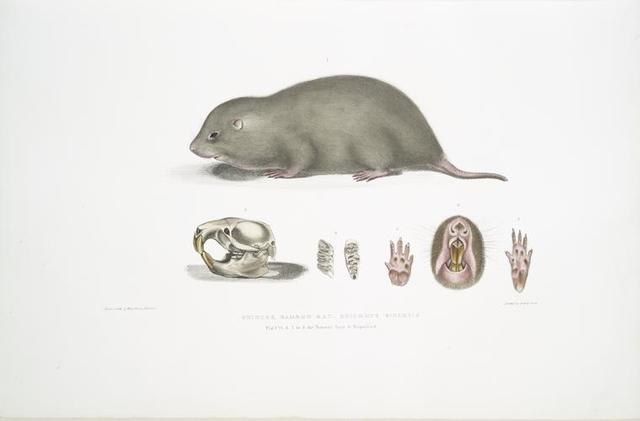 Chinese Bamboo Rat, Rhizomys Sinensis. Fig. 1. 1/2 Natural size, Fig. 2-5. Natural size, Fig. 6. Magnified.