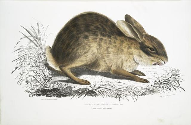 Chinese Hare, Lepus Sinensis.