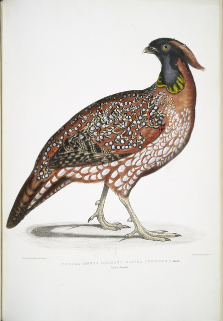 Chinese Horned Pheasant, Satyra Temminckii. 3/4 Nat. length.