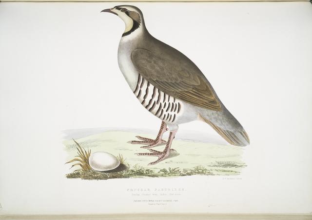 Chuckar Partridge, Perdix chukar. India. Natural size.