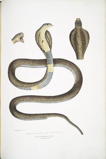 Cobra Capella,, var. , Naia tripudians, var.