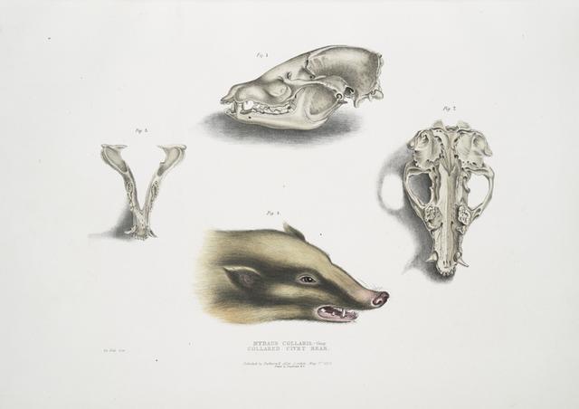 Collared Civet Bear, Mydaus collaris. Skull and head.