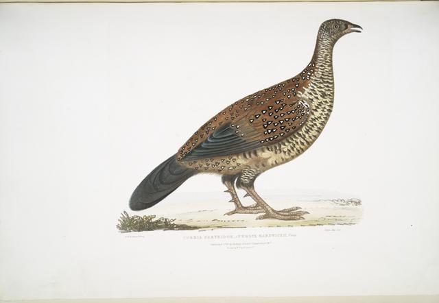 Curria Partridge, Perdix Hardwickii.