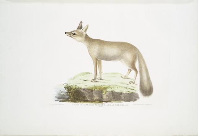 Doab Fox, Canis (Vulpes) rufescens. Female.