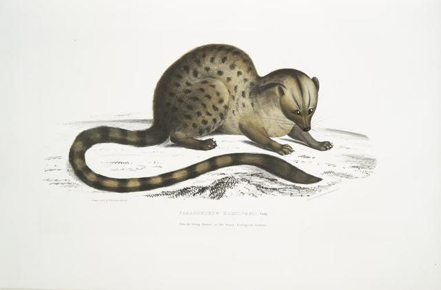 Dr. Hamilton's Paradoxurus, Paradoxurus Hamiltonii. From the living Animal in the Surry Zoological Gardens.