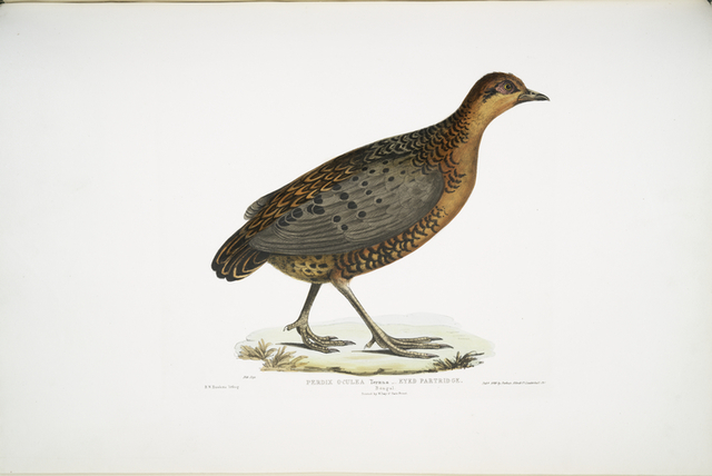 Eyed Partridge, Perdix oculea. Natural size. Bengal.