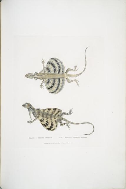 Five Banded Dragon Lizard, Draco quinque-fasciata.