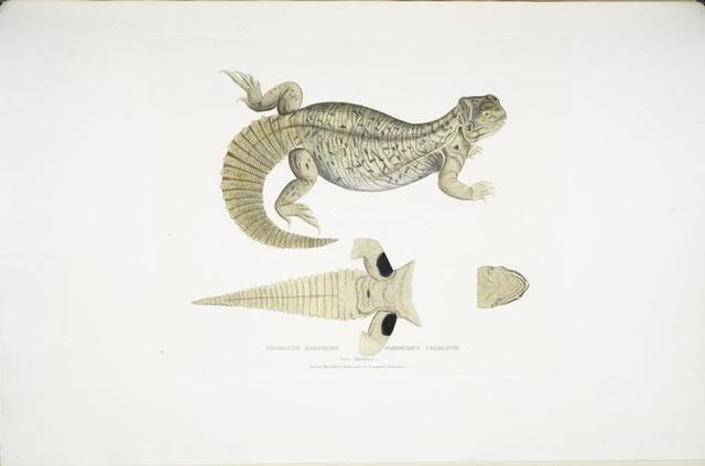 Hardwicke's Uromastix, Uromastix Hardwickii. From Hindustan.