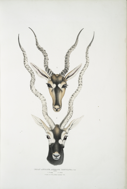 Indian Antelope, Antilopa cervicapra. Head and horn. 1. Young, 2. Adult.