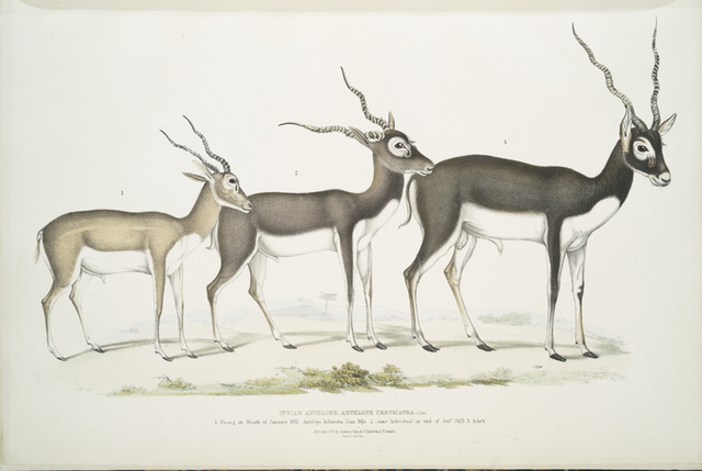 Indian Antelope, Antilope cervicapra. 1. Young in month of January 1822; 2.  ... same Individual in end of Oct. 1823; 3. Adult.