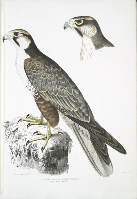 Jugger Falcon, Falco Jugger. 1. Male, 2. Female. Natural Size.