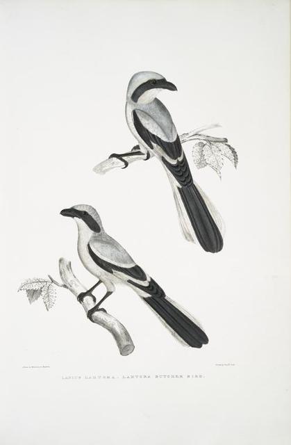 Lahtora Butcher Bird, Lanius Lahtora.