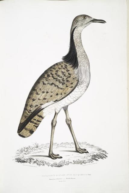 Macqueen's Bustard, Otis Macqueenii. Hamalaya Mountains. British Museum. 3/4 Natural size.