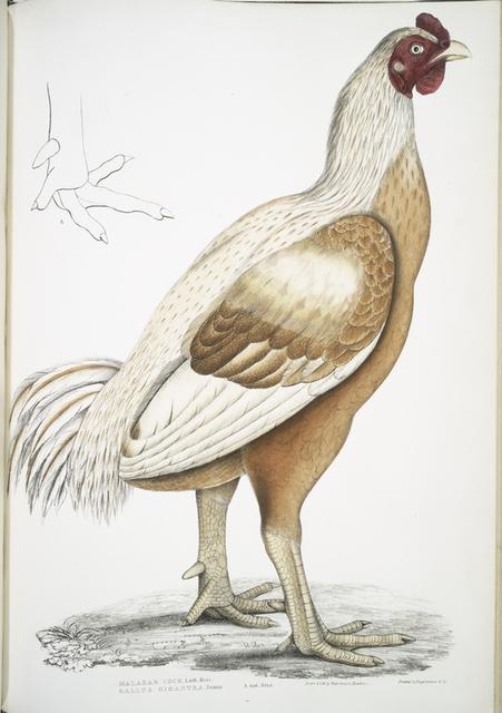 Malabar Cock, Gallus gigantea. Natural size.