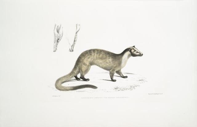 Masked Paradoxurus,  Paradoxurus (Viverra) Larvatus.
