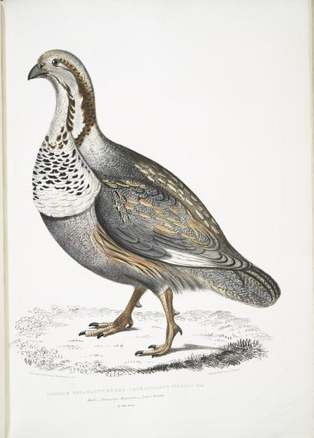 Nigell's Pheasant Grouse, Tetraogallus Nigellii. Adult. Hamalaya Mountains. British Museum. 2/3 Natural size.