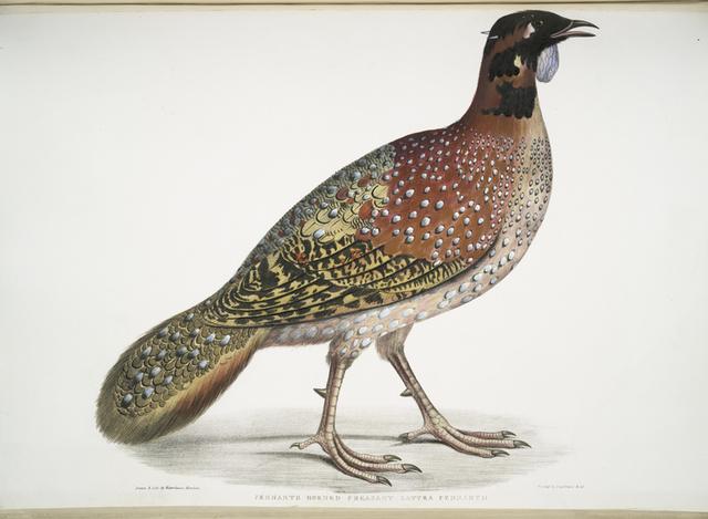 Pennant's Horned Pheasant, Satyra Pennatii.