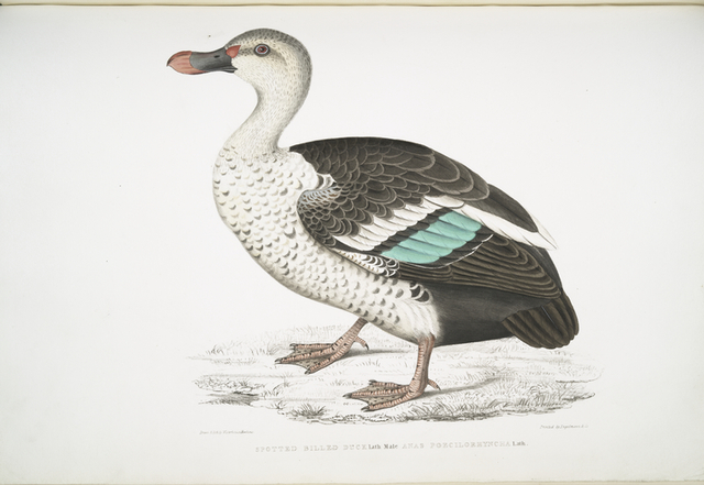 Spotted Billed Duck, Anas poecillorhyncha.