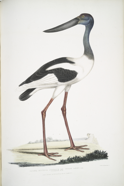 Tetaar Jabiru, Ciconia (Mycteria)  Australis.