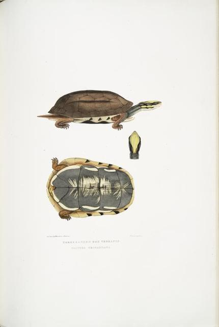 Three Banded Box Terrapin, Cistuda trifasciata.
