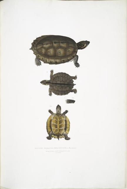 Toothed Terrapin, Emys dentata.