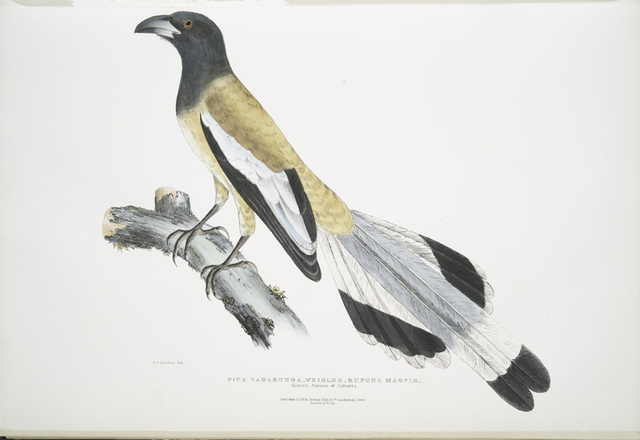 Weigler, Rufons Magpie, Pica Vagabunga. Natives of Calcutta.