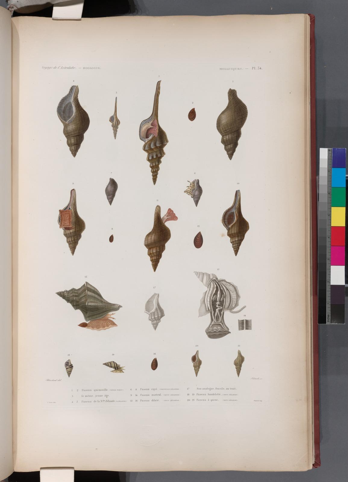 Mollusques: 1. 2. Fuseau quenouille. (Tonga-Tabou.); 3. Le méme jeune âge; 4. 5. Fuseau de la Nelle. Zélande. (N. Zékabde.); 6.- 8. Fuseau rayé. (Nouv-Zélande.); 9.- 14. Fuseau austral. (Nouv-Zélande.); 15. 16. Fuseau dilaté. (Nouv-Zélande.); 17. Son analogue fossile au trait; 18. 19. Fuseau bandeletté. (Nouv-Zélande.); 20. 21. Fuseau à queue. (Nouv-Zélande.)