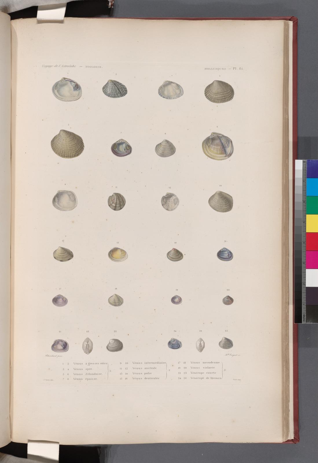 Mollusques: 1. 2. Vénus à grosses côtes. N.; 3. 4. Vénus apre. N. ; 5. 6. Vénus Zélandaise. N.; 7. 8. Vénus épaisse. N.; 9. 10. Vénus intermédiaire. N.; 11. 12. Vénus australe. N.; 13. 14. Vénus polie. N.; 15. 16. Vénus denticulée. N.; 17. 18. Vénus mesodesme. N.; 19. 20. Vénus violacée. N.; 21.- 23. Vénérupe courte. N.; 24.- 26. Vénérupe de Diemen. N..
