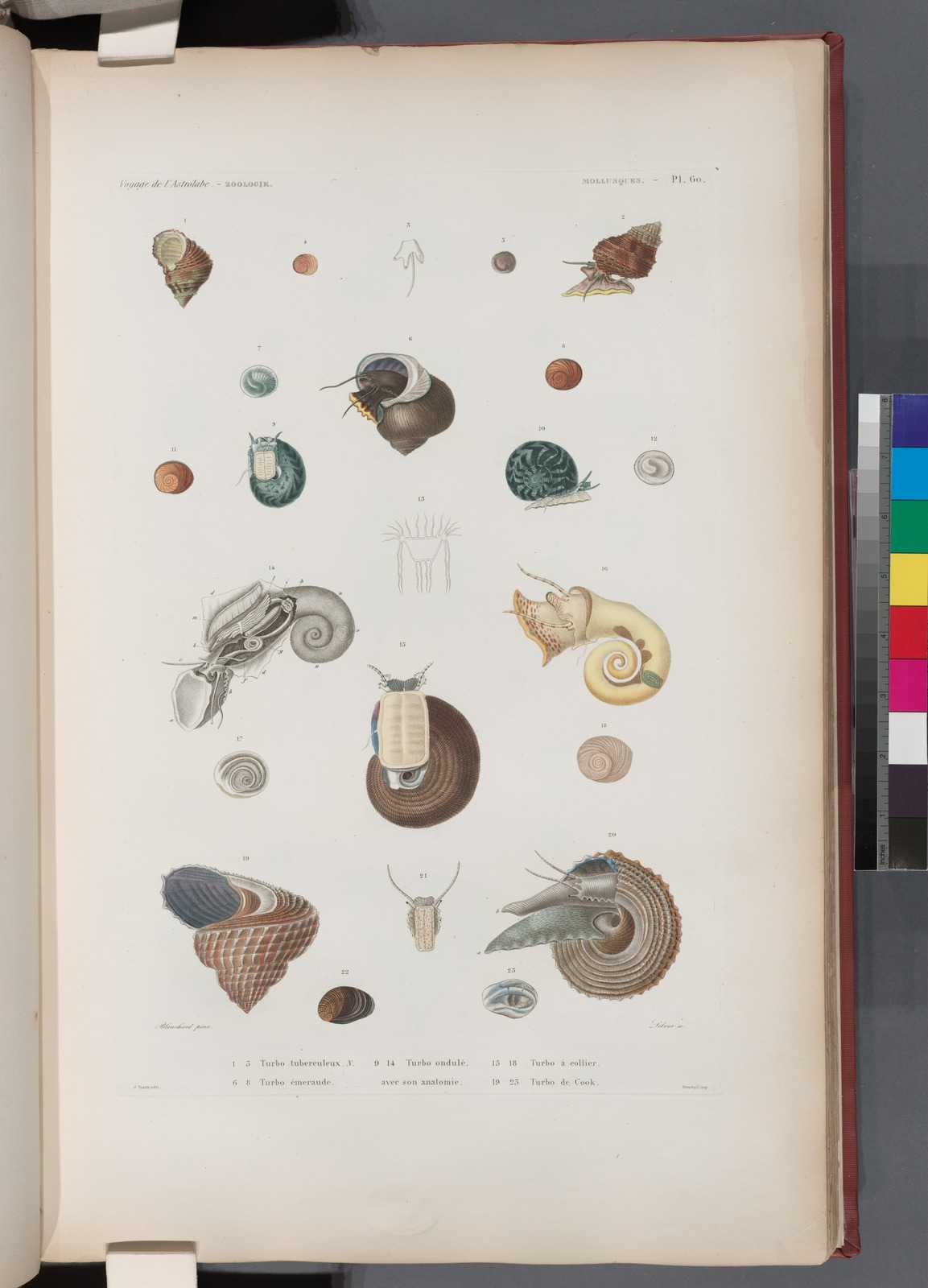 Mollusques: 1.-5. Turbo tubereculeux. N.; 6.- 8. Turbo émeraude; 9.- 14. Turbo ondulé, abec son anatomie; 15.- 18. Turbo à collier; 19.- 23. Turbo de Cook.