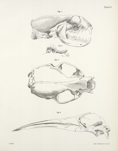 1. North American Otter, skull, (Lutra canadensis). 2. Teeth in the upper jaw, right side of the same. 3. Vertical view of the same skull. 4. The Southern Beaked Whale, skull (Rorqualus australis).