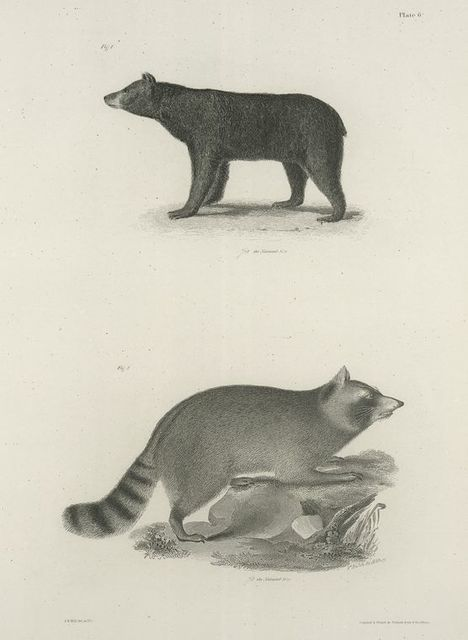 1. The American Black Bear (Ursus americanus). 2. The Raccoon (Procyon lotor).
