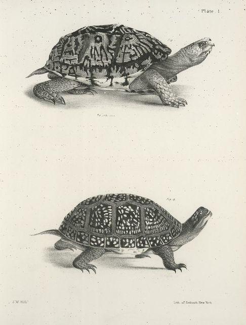 1. The American Box Tortoise (Cistuda carolina). 2. Blanding's Box Tortoise (Cistuda blandingii).