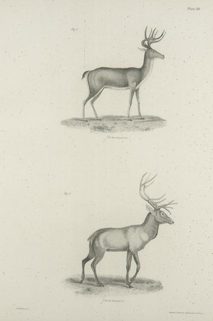 1. The American Deer (Corvus virginianus). 2. The American Stag (Elaphus canadensis).