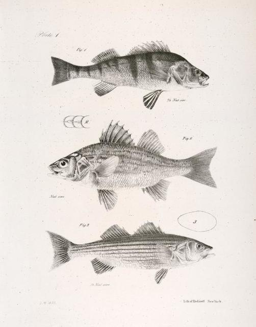 1. The American Yellow Perch (Perca flavescens). 2. The Little White Bass (Labrax palidus). 3. The Striped Sea Bass (Labrax lineatus).