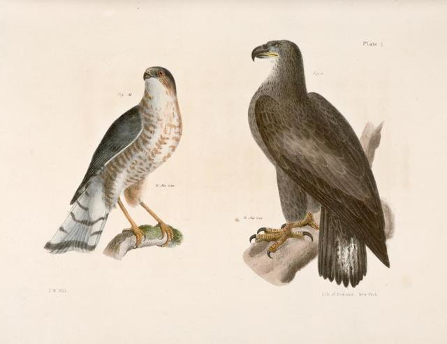 1. The Bald Eagle (Haliaëtos leucocephalus). 2.  The Slate-colored Hawk (Astur fuscus).