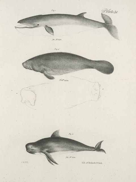 1. The Beaked Whale (Rorqualus rostratus). 2. The Manatee (Manatus americanus). Upper and front views of the snout. 3. The Social Whale (Globicephalus melas).