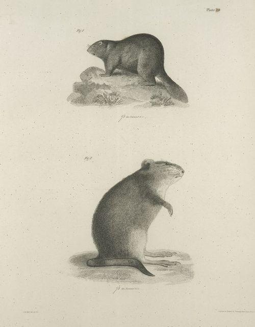 1. The Beaver (Castor fiber). 2. The Musquash (Fiber zibethicus).