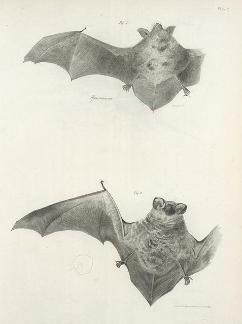 1. The Carolina Bat (Vespertilio carolinensis); 2. The Hoary Bat (V. pruinosus).