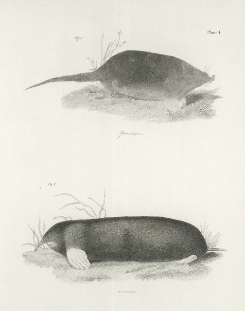 1. The Common Star-nose (Condylura cristata). 2. The Common Shrew-mole (Scalops aquaticus).